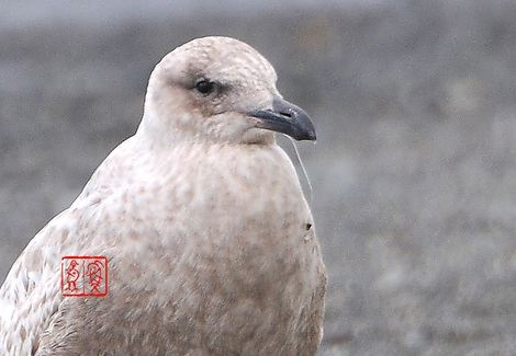 Segurokamome3237a
