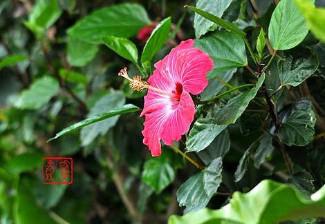 Hibiscus4632