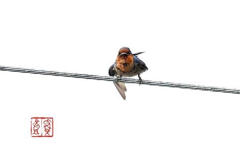 Ryuukyuutsubame6018