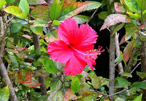 Hibiscus8263n