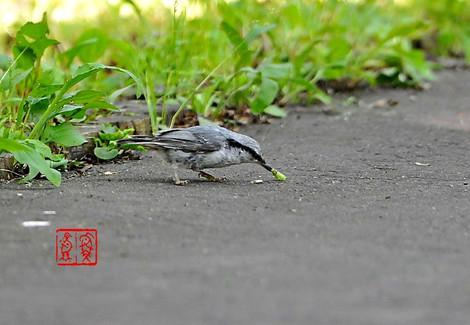 Shiroharagojyuukara1322