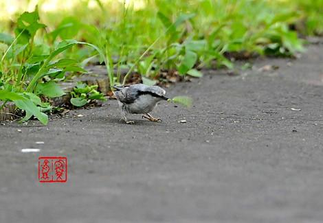 Shiroharagojyuukara1325