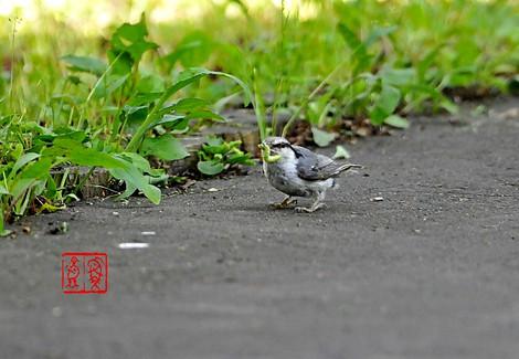 Shiroharagojyuukara1326