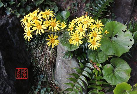 Tsuwabuki994020141107