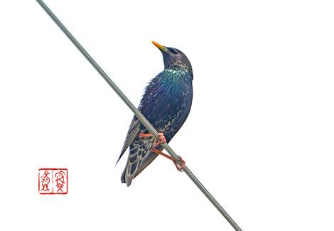 Hoshimukudori913820150518