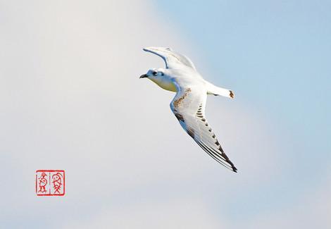 Zugurokamome314820161210l