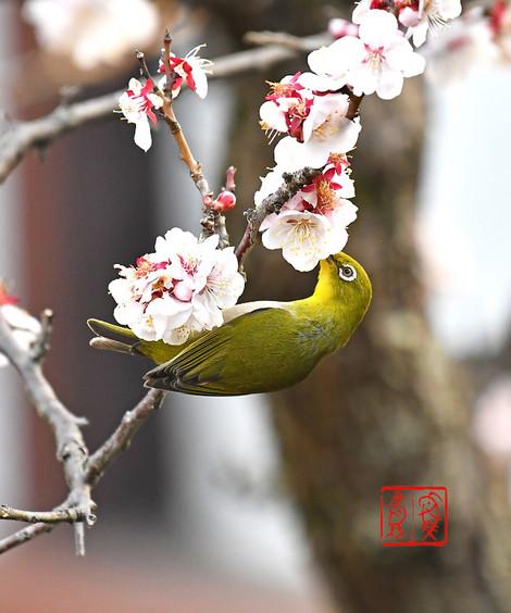 Mejiro201803143797