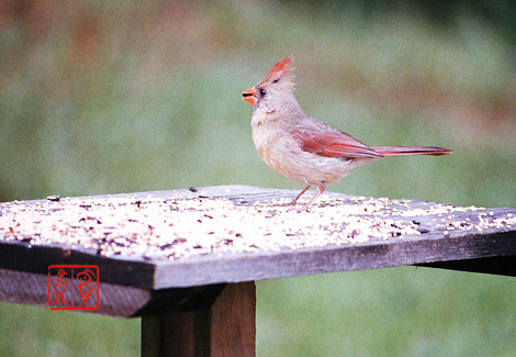 Northerncardinal01
