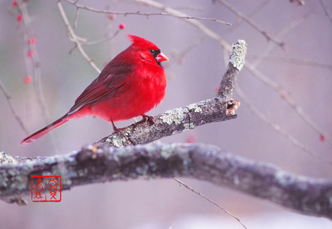 Northerncardinal03