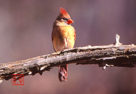 Northerncardinal06