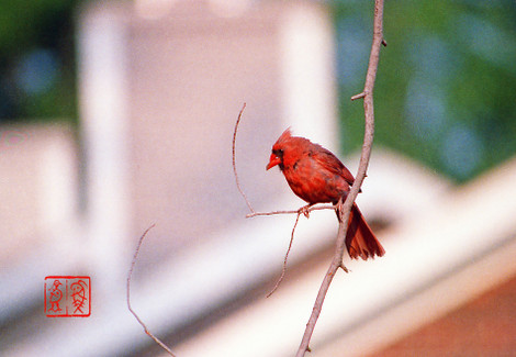 Northerncardinal09