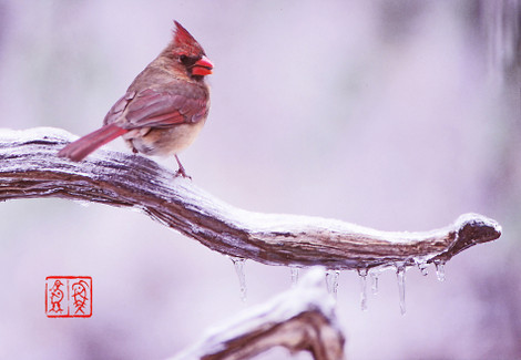 Northerncardinal11