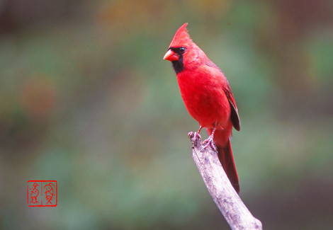Northerncardinal12