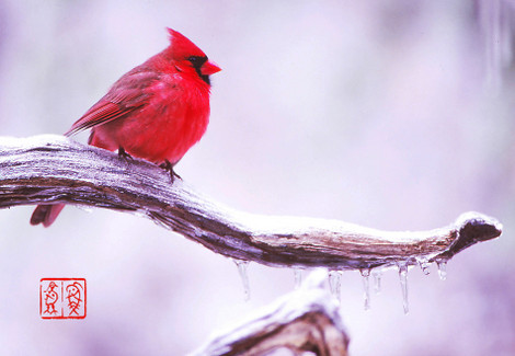Northerncardinal14