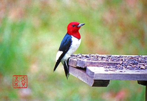 Redheadedwoodpecker01