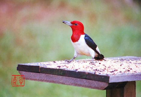 Redheadedwoodpecker02