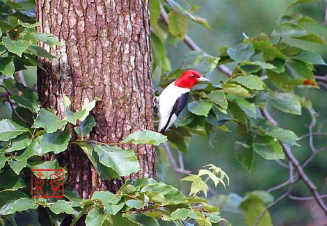 Redheadedwoodpecker04
