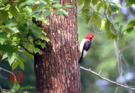 Redheadedwoodpecker05
