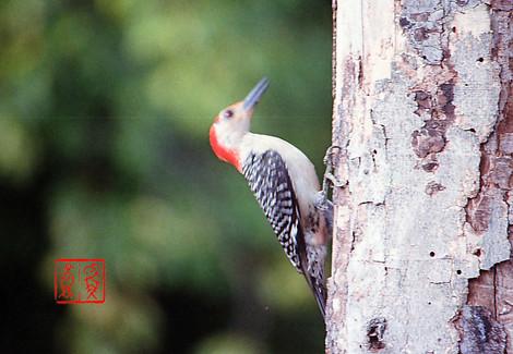 Redbelliedwoodpecker01
