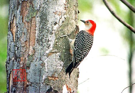 Redbelliedwoodpecker02