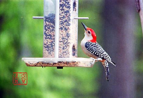 Redbelliedwoodpecker03