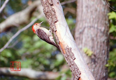 Redbelliedwoodpecker04