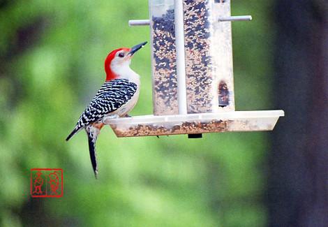 Redbelliedwoodpecker05