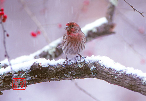 Housefinch02