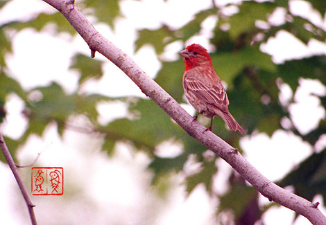 Housefinch07