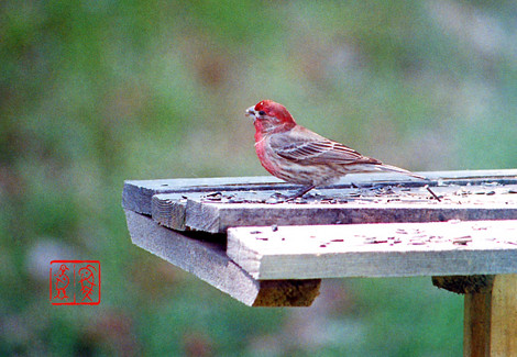Housefinch09
