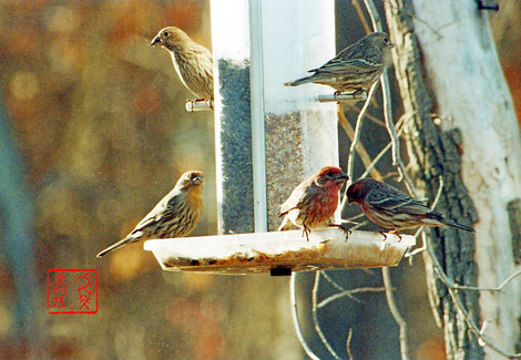 Housefinch10