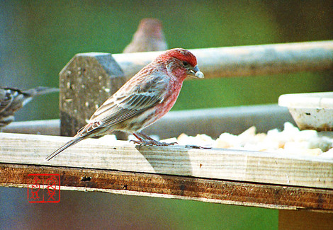Housefinch11