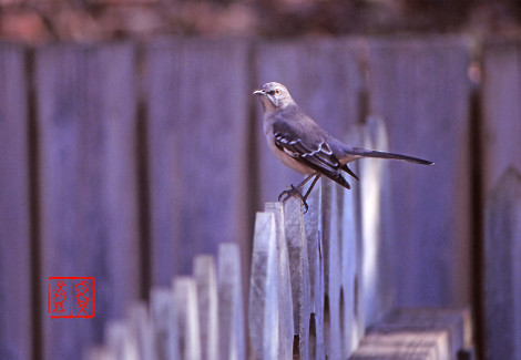 Northernmockingbird01
