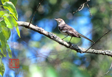 Northernmockingbird02jpg