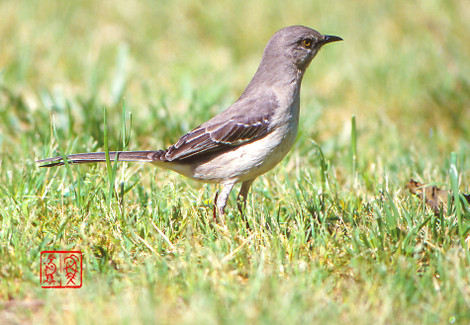 Northernmockingbird03jpg