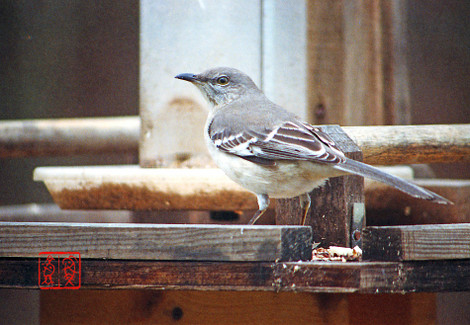 Northernmockingbird04