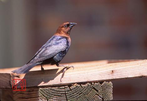 Brownheadedcowbird02