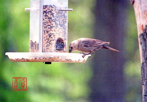 Brownheadedcowbird48