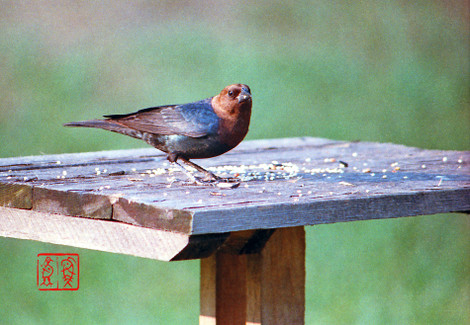 Brownheadedcowbird68
