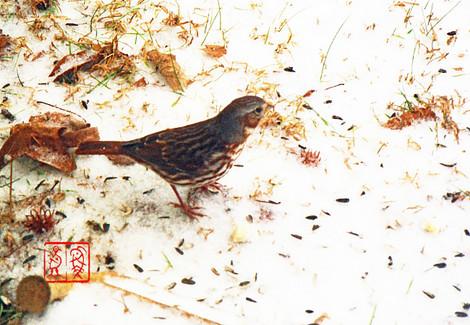 Foxsparrow69
