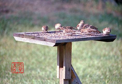 Housesparrow31
