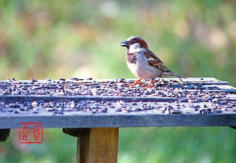 Housesparrow34