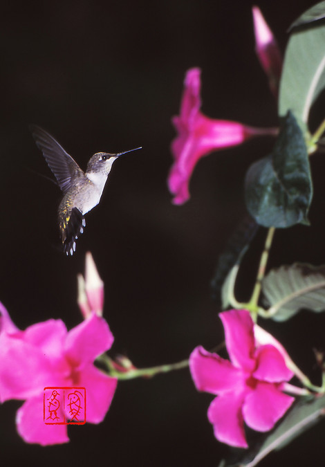 Rubythroatedhummingbird01