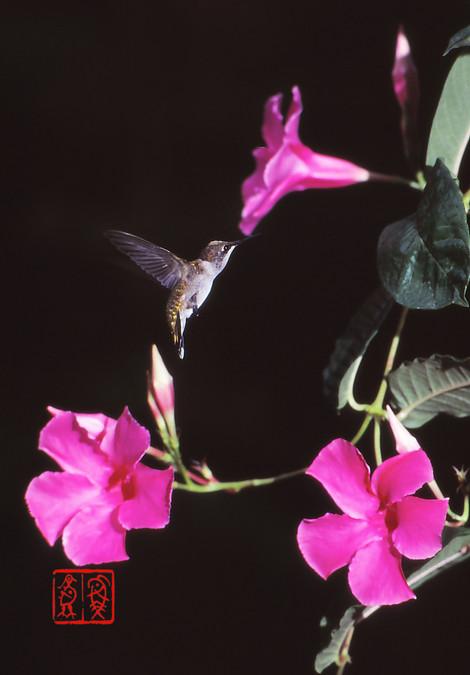 Rubythroatedhummingbird02