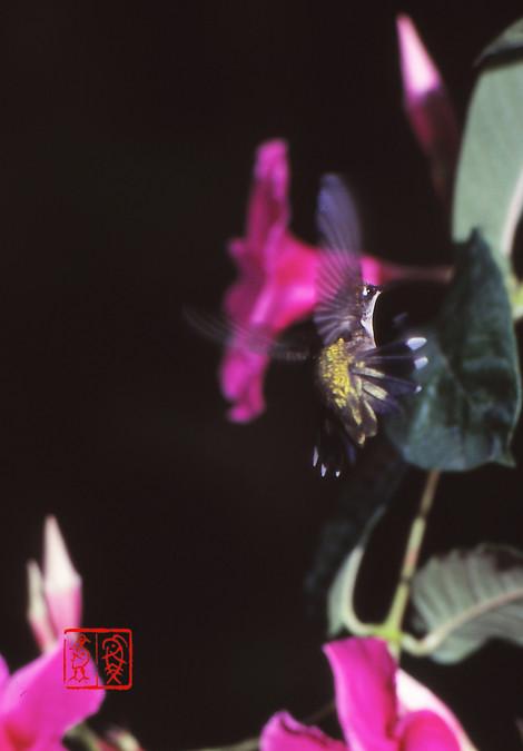 Rubythroatedhummingbird03