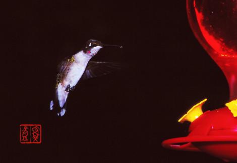Rubythroatedhummingbird04