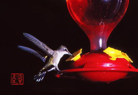 Rubythroatedhummingbird05