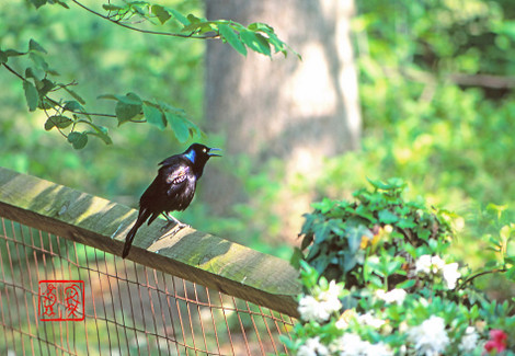 Commongrackle01