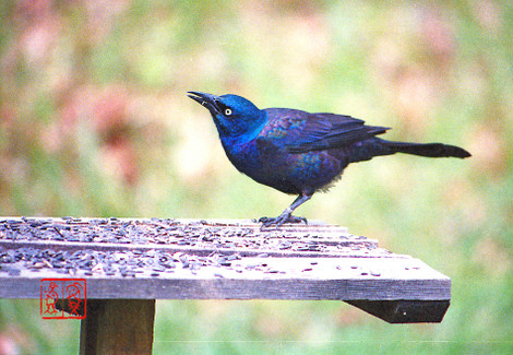 Commongrackle60
