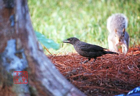 Rustyblackbird04